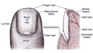 Nail bed anatomy figure 2.