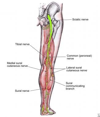 The sural nerve as it travels down the posterior c