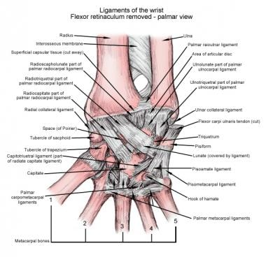 Ligaments of the wrist, palmar view.