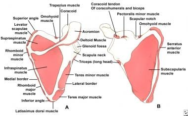 Scapular anatomy. Muscle origin and insertion.
