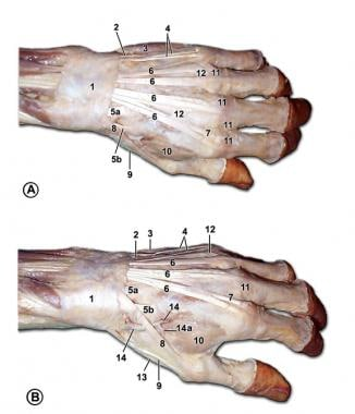 hand anatomy overview, bones, skin Body Tendons Diagram muscles and tendons of the dorsum of the left hand