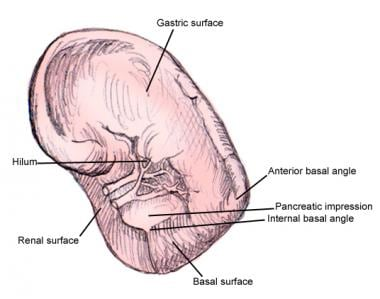 spleen anatomy  this image shows different surface