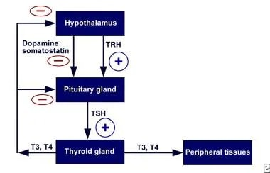 Hypothalamic-pituitary-thyroid axis feedback. Sche