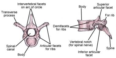 Illustration of thoracic vertebrae showing vertebr