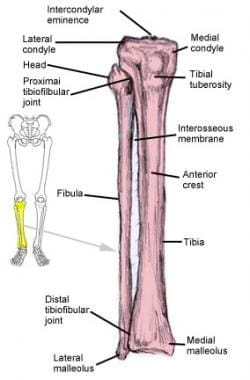 Tibia and fibula. Proximal tibia makes up entire a