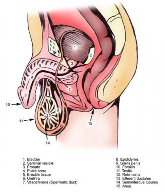 Male urethra and its segments.