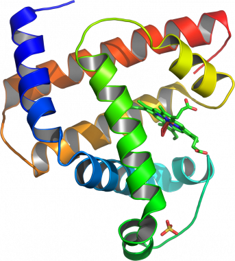 Model of helical domains in myoglobin (protein lin