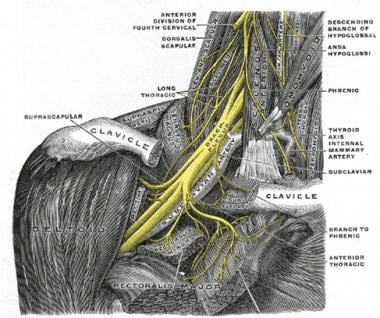 The brachial plexus and nearby structures in the n