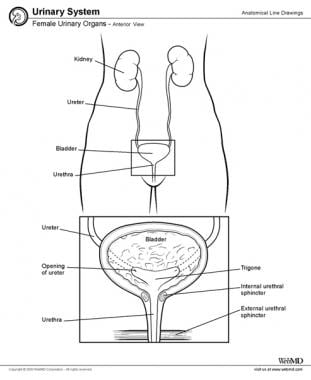 Female urinary organs.