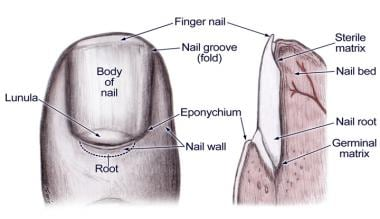 Nail Bed Anatomy