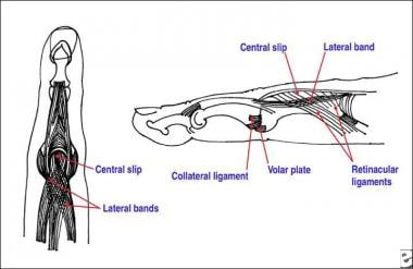 Anatomy of the proximal interphalangeal joint. The