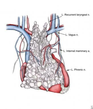 Anatomy of thymus, with emphasis on blood supply a