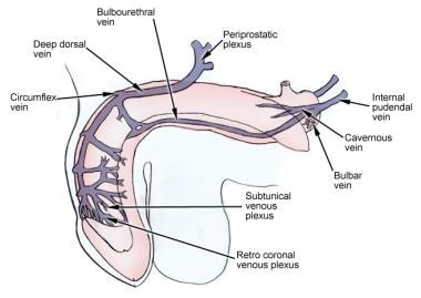 Venous drainage of the penis.