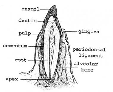 Transverse section of a central incisor illustrate