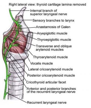 Laryngeal Nerve Anatomy: Introduction, Vagus Nerve (Cranial Nerve X ...