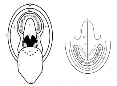 Schematic representation of oral cavity and floor
