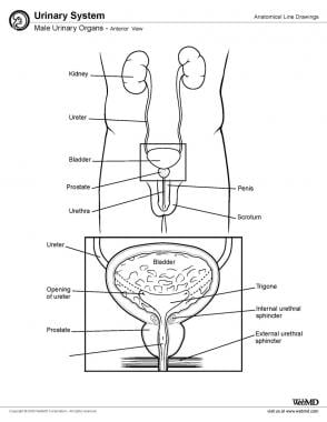 Male urinary organs, anterior view.