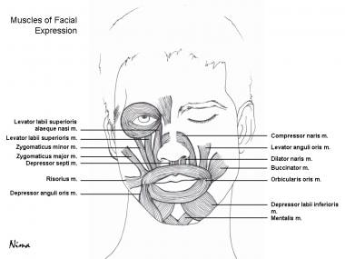 Muscular anatomy of the face.