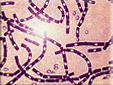 Polychrome methylene blue stain of Bacillus anthra