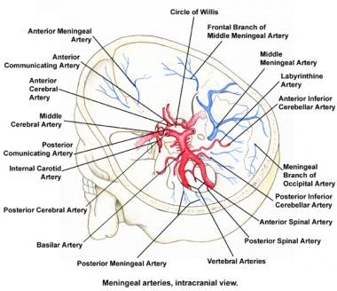Circle Of Willis Anatomy Overview Gross Anatomy Natural Variants