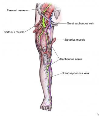 Descent of the saphenous nerve down the anteromedi