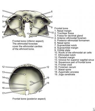 Frontal bone, inferior and posterior aspects.