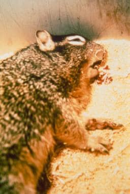 Rock squirrel in extremis coughing blood-streaked