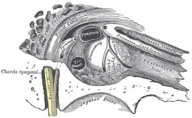 Auditory tube cross-section.