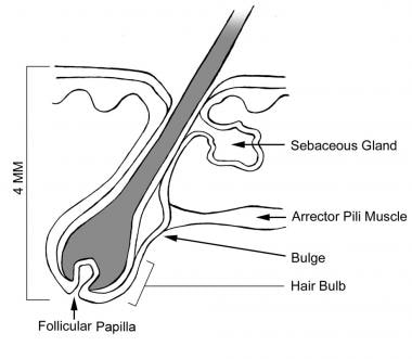 hair anatomy overview microanatomy of anagen phase hair