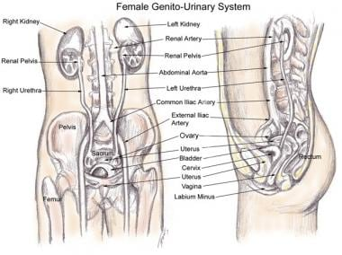 Gross anatomy of the female pelvis.
