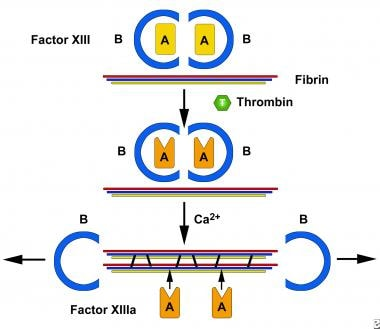 Activation of factor XIII (FXIII) by thrombin and