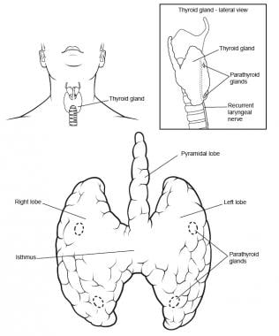 thyroid anatomy  overview  structure  fascia and ligament