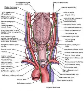 Anatomy of the recurrent laryngeal nerve (RLN).