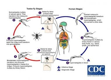 Trypanosoma life cycle. Courtesy of the CDC Divisi
