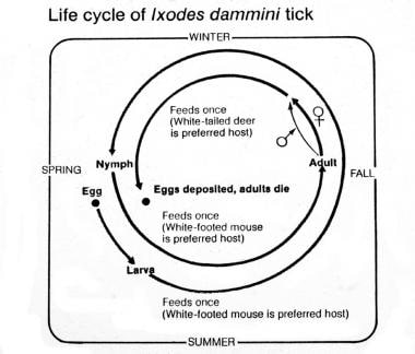 Life cycle of the Ixodes dammini tick. Courtesy of