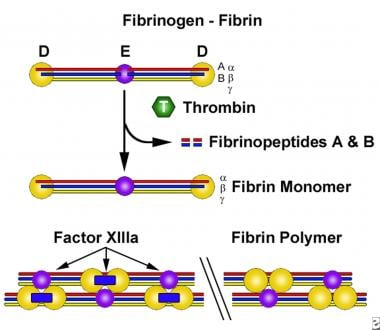 The conversion of soluble fibrinogen to insoluble