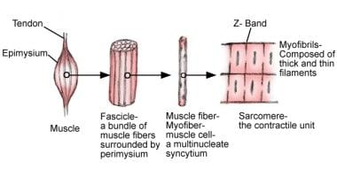 Basic architectural elements of skeletal muscle.