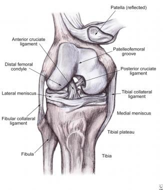 Anatomy of the knee.