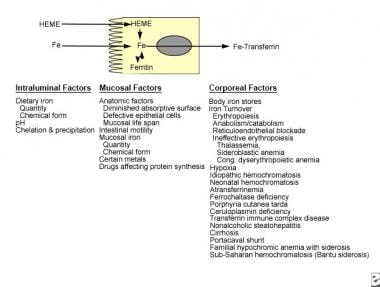 Iron Deficiency Anemia: Practice Essentials, Background, Pathophysiology