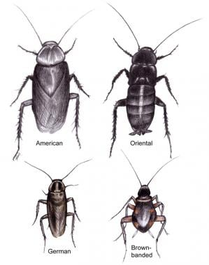 Comparison of common cockroaches.