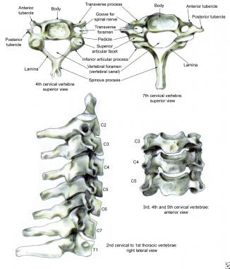 Normal anatomy of the lower cervical spine.