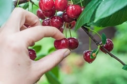 Image result for images of cherry picking